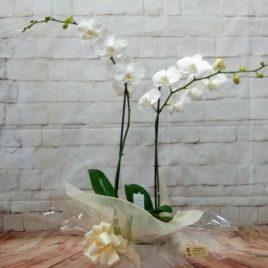 Orquídea blanca y macetero día madre RF 638