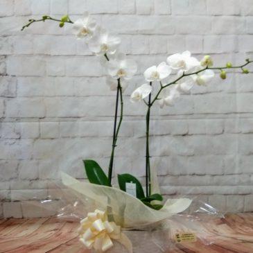 Orquídea 2 varas blanca RF 638