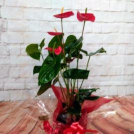 Planta anthurium RF 623 día madre