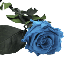 Rosa eterna Aquamarine RF 1711