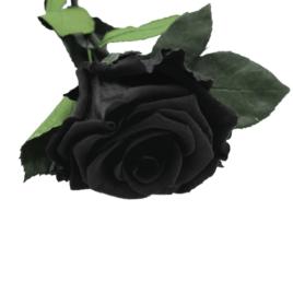 Rosa eterna Black Beauty RF 1703