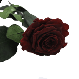Rosa eterna Burgundy RF 1698