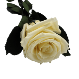 Rosa eterna chanpagne RF 1694