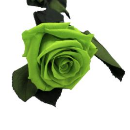 Rosa eterna Green glow RF 1681