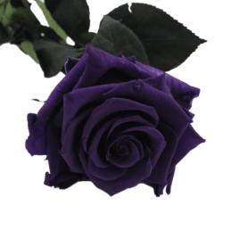 Rosa eterna Velvet Plum RF 1654
